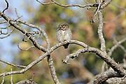 Jungle Owlet, Glaucidium radiatum  India