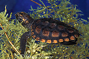 loggerhead sea turtle, Caretta caretta (c-r)<br /> hatchling hiding in clump of floating sargassum <br /> in open ocean between Florida and Bahamas<br /> ( Western Atlantic Ocean )