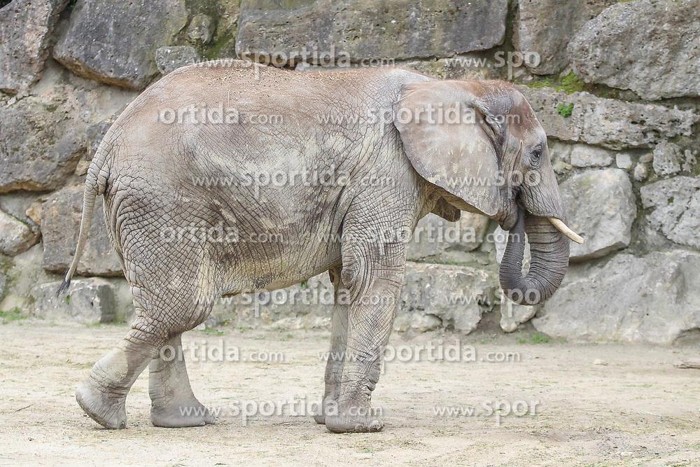THEMENBILD - Der Afrikanische Elefant, auch Afrikanischer Steppenelefant oder Afrikanischer Buschelefant, ist eine Art aus der Familie der Elefanten. Er ist das größte gegenwärtig lebende Landsäugetier und gleichzeitig das größte rezente landbewohnende Tier der Erde, aufgenommen am 19.05.2019 im Tiergarten Schönbrunn in Wien, Österreich // The African Elephant, also African steppe elephant or African bush elephant, is a species of the elephant family. He is currently the largest living land mammal and also the largest recent land-dwelling animal on earth, pictured on 2019/05/19 at the Tiergarten Schönbrunn at Vienna, Austria. EXPA Pictures © 2019, PhotoCredit: EXPA/ Lukas Huter
