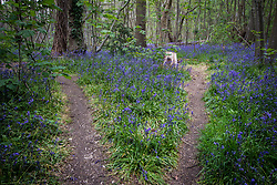Bluebell wood, Essex UK