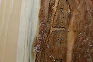 Photo Randy Vanderveen.Grande Prairie, Alberta.Blue stain fungus evident under the bark of a mountain pine beetle infested tree.