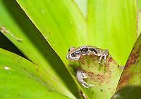Pastures rainfrog (Cutín de potrero), Pristimantis achatinus, on a bromeliad in Tandayapa Valley, Ecuador