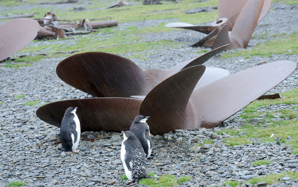 Moulting Chinstrap Penguins  (Pygoscelis antarctica) stand  in front of abandoned ships propellers on the beach at Stromness, near the old whaling station. Stromness, Stromness Bay, South Georgia, South Atlantic. 20Feb16.