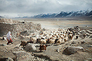 A herd leave in the morning. The greatest number of Kyrgyz livestock is comprised of sheep and goats. The latter are used to keep the sheep moving...