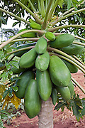 The fruit on a Paupau tree in the Kamuli region of Uganda. The tree is part of the Sustainable Organic Agriculture project run by the Kulika charity.