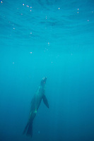 Underwater image of Galapagos Sea Lion in the Galapagos Islands, Ecuador.