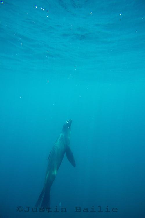 Underwater image of Galapagos Sea Lion in the Galapagos Islands, Ecuador.