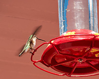 Broad-tailed Hummingbird (Selasphorus platycercus). Manitou Springs, Pike's Peak Railway, Colorado. Image taken with a Nikon D200 camera and 18-200 mm VR lens.