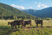 Four Young Wagyu Cows, Grizzly Ridge, Genesee Valley Ranch, California, Waygu Cattle, California Mountains
