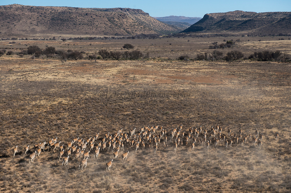 Eland (Taurotragus oryx)<br /> Private game ranch<br /> Great Karoo<br /> SOUTH AFRICA