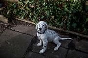 """Der English Setter Welpe """"Rudy"""" am 11.03.2017.  Rudy wurde Anfang Januar 2017 geboren und ist gerade zu seiner neuen Familie umgezogen."""