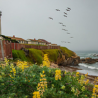 Pelican fly past yellow bush lupines and an historic lighthouse at Pigeon Point on the Pacific Ocean coast near Pescadero, California.