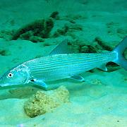 Caribbean Bonefish