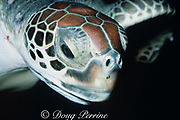 head of green sea turtle, Chelonia mydas, showing distinctive (species specific) elongated frontal scutes