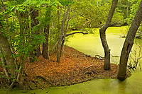 NC01287-00...NORTH CAROLINA - A marsh and maritime forest at Nags Head Woods Preserve on the Outer Banks at Nags Head.
