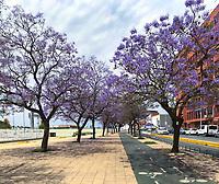 Jacaranda blooms purple along the bike paths of Sevilla in Southern Spain in Spring.