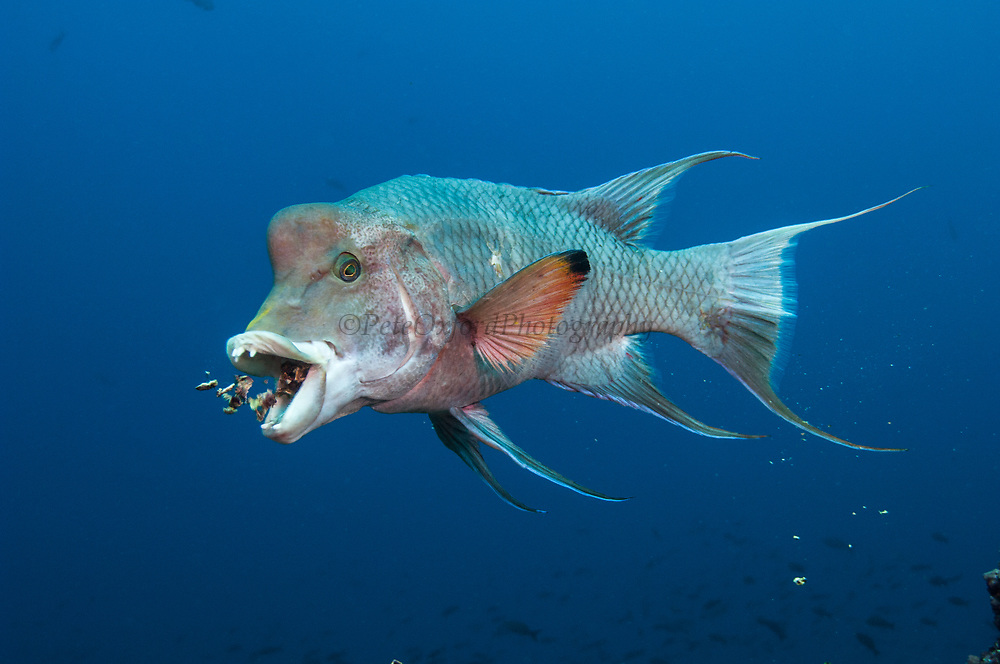 Streamer Hogfish (Bodianus diplotaenia) or Mexican hogfish<br /> off of Wolf Island<br /> GALAPAGOS ISLANDS<br /> ECUADOR.  South America<br /> RANGE & HABITAT: Abundant entire archipelago. Chile north to Baja including offshore islands. They inhabit rocky reefs, slopes and mixed areas of boulders and sand. Common between 15-65 feet. Juveniles may act as cleaners.
