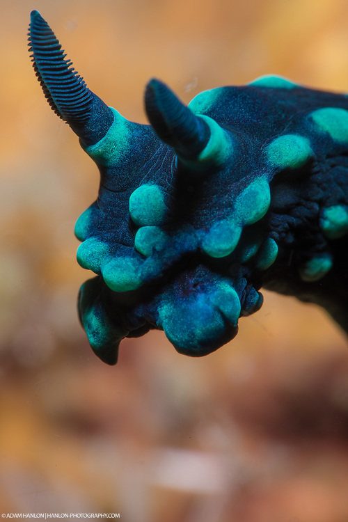 Super macro study of the head of a crested nembrotha (Nembrotha cristata) nudibranch. These sea slugs come in an amazing variety of shapes, sizes and colors.