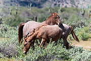 Wild Horses Preening Each Other