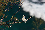 A red-footed booby (Sula sula rubripes) preens itself on a branch high above the Pacific Ocean in the Kilauea Point National Wildlife Refuge in Kauai, Hawaii.