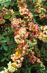 The berries of Berberis prattii (syn Berberis brevipaniculata )