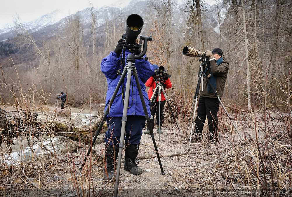 """Photographers from around the world come to the Alaska Chilkat Bald Eagle Preserve near Haines, Alaska to photograph bald eagles. Many participate in """"photo tours"""" led by professional photographers as they photographers are doing. During November and December as many as 3,500 bald eagles are seen along the river allowing for ample opportunities to photograph the birds."""