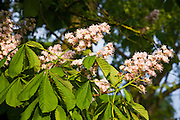 Horse Chestnut tree Aesculus Hippocastanum blossom and leaves in springtime, The Cotswolds, Oxfordshire, England, United Kingdom