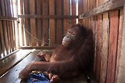 Freedom at last for the orangutan who had 'given up on life': Ape is released from tiny crate where it was chained up with just a scrap of cloth it used as a comfort blanket <br /> <br /> She is now in a rehabilitation centre in Ketapang, West Borneo.  <br /> <br /> Her owner told a team from International Animal Rescue that Amy had been in the cage for a month and had been allowed to roam around the house before. <br /> <br /> But rescuers think that it was trapped for much longer. <br /> <br /> The group were alerted to Amy's plight by local group Yaysan Palung. <br /> <br /> The ape refused to look at vet Sulhi Aufa when she was found in the crate.<br /> <br /> It was slumped against a wall and had blank eyes. <br /> <br /> But when the vet touched her, it held her hand.  <br /> <br /> Karmele L Sanchez, Programme Director of IAR Indonesia, said: 'This is a serious animal welfare problem.  <br /> <br /> 'Many orangutans in this area are treated worse than dogs, chained all their lives and living in deplorable conditions. <br /> <br /> You can see the sadness in Amy's eyes. If we hadn't rescued her, she would have suffered all her life, chained up until the day she died.'<br /> <br /> Alan Knight, IAR Chief Executive, said: 'This is a tragic tale of cruelty and neglect. <br /> <br /> It will require plenty of time and patience for Amy to recover and it is still doubtful as to whether she will ever recover sufficiently to be a candidate for release back into the wild.'<br /> <br /> Sanchez added: 'It's high time people realised that, if they keep breaking the law by capturing orangutans and keeping or selling them as pets, then the species will soon become extinct.<br /> <br /> 'Anyone who is offered an orangutan as a pet should certainly not buy it. <br /> <br /> They should immediately contact the authorities and report the person trying to sell it. <br /> <br /> And if people are not willing to cooperate by surrendering the orangutan and persist in breaking the 