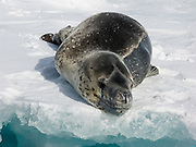 "The leopard seal (Hydrurga leptonyx), also referred to as the sea leopard, is the second largest species of seal in the Antarctic region. It is most common in the southern hemisphere along the coast of Antarctica and on most sub-Antarctic islands, but can also be found on the coasts of southern Australia, Tasmania, South Africa, New Zealand, Lord Howe Island, Tierra del Fuego, the Cook Islands, and the Atlantic coast of South America. Along with all of the other earless seals, it belongs to the family Phocidae, and is the only species in the genus Hydrurga. The name hydrurga means ""water worker"" and leptonyx is the Greek for ""small clawed"". The leopard seal is large and muscular, with a dark grey back and light grey on its stomach. Its throat is whitish with the black spots that give the seal its common name."