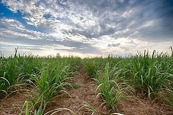 Plantação de cana-de-açúcar na área rural de Uberaba, Minas Gerais. FOTO: Jefferson Bernardes/Agência Preview