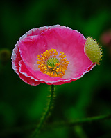 Pink Poppy. Image taken with a Fuji X-T3 camera and 80 mm f/2.8 OIS macro lens