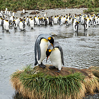 Two bonding king penguins stand on a tiny mound of tussock grass in a massive breeding colony at Gold Harbour on South Georgia Island.