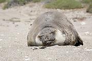Southern Elephant Seal, Mirounga leonina female sleeping on beach - Valdes Peninsula