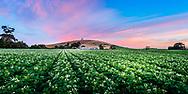 Potato farm at dawn with flowering potato plants in rows.