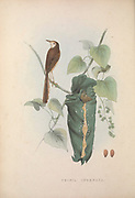 Plain Prinia (Prinia inornata) from Zoologia typica; or, Figures of new and rare animals and birds described in the proceedings, or exhibited in the collections of the Zoological Society of London. By Fraser, Louis. Zoological Society of London. Published London, March 1847