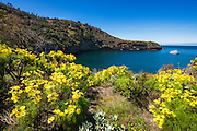 Wildflowers at Pelican Bay, Santa Cruz Island, Channel Islands National Park, California USA