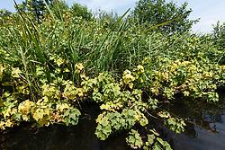Zwarte bes, Ribes nigrum