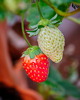Late Season Ripe and Immature Strawberry. Image taken with a Fuji X-H1 camera and 80 mm f/2.8 macro lens and 1.4x teleconverter.