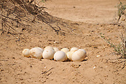 Israel, Aravah, The Yotvata Hai-Bar Nature Reserve breeding and reacclimation centre. eggs of an Ostrich, Struthio camelus