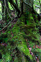 66.1. Shiretani Unsui Gorge 白谷雲水峡の森林 is a lush nature park containing a number of Yakushima's ancient cedars such as the Nidaio-sugi, Kuguri-sugi and Yayoi-sugi. Shiratani Unsuikyo is a popular destination to see these forests without much strenuous hiking with a network of well-maintained trails that run along the ravine.  One of the main attractions here is an area of the forest that served as the inspiration for the Studio Ghibli animated film Mononoke Hime Princess Mononoke.