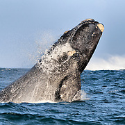 Young southern right whale (Eubalaena australis) breaching. Photographed with the permission of the Department of Environmental Affairs, South Africa.