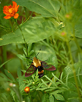 Hummingbird Moth (Hemaris thysbe or Hemaris diffinis). Backyard summer nature in New Jersey. Image taken with a Leica T camera and 55-135 mm zoom lens (ISO 100, 135 mm, f/5.6, 1/320 sec).