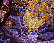 Autumn colors of Boxelders, Acer negundo, lining canyon bottom of Clear Creek, Zion National Park, Utah.