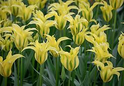 Tulipa 'Pieter'