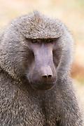 Portrait of an olive baboons, Papio anubis, Kalama Conservancy, Samburu, Kenya.