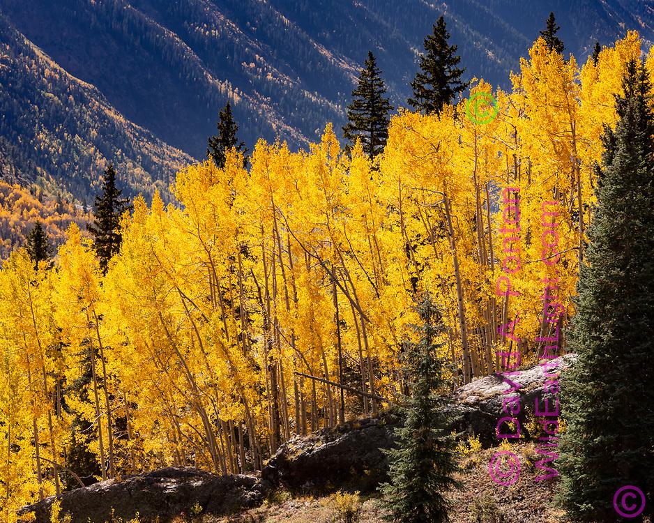 Bright gold of an autumn aspen stand along a rock ridge on a slope, San Juan Mountains, Colorado, © David A. Ponton