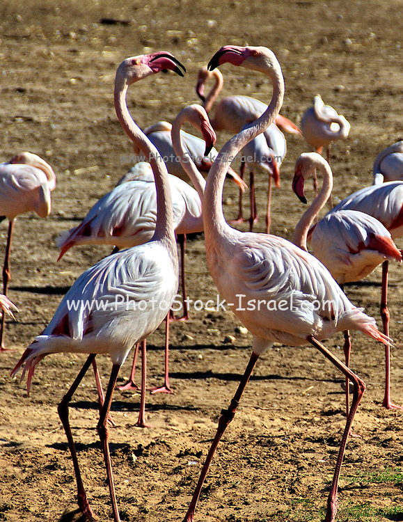 two pink flamingos creating the shape of a heart with their neck and head