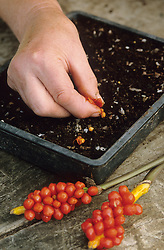 Sowing arum seed when berries are ripe