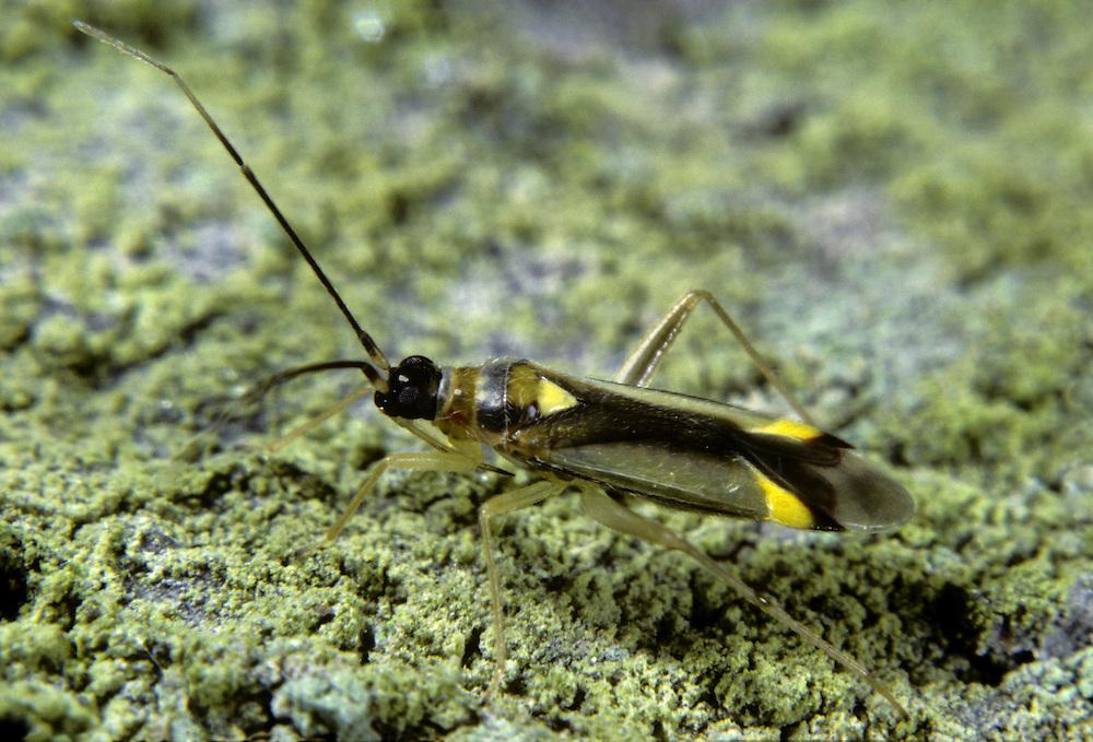Capsid Bug - Campyloneura virgula