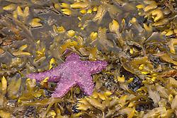 Purple Ochre Sea Star (Pisaster ochraceus), Sunshine Coast, British Columbia, Canada